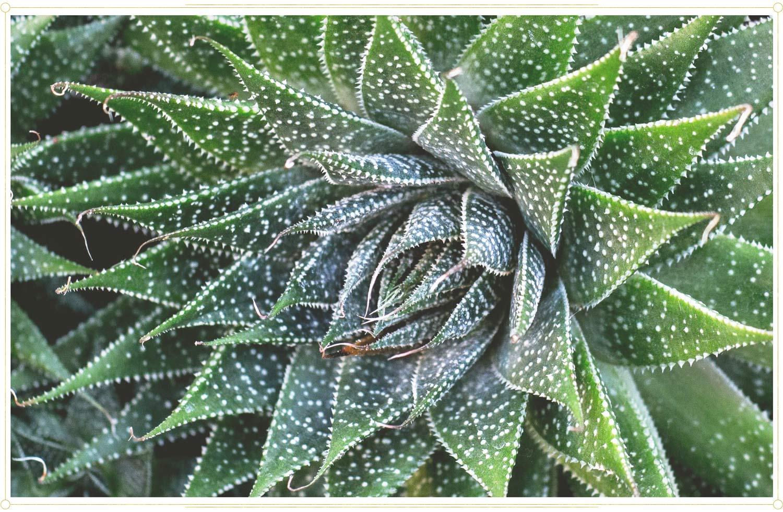 Aloe Vera Bitki Bakım Kılavuzu